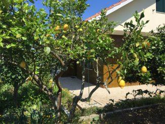 It's a lemon-tree my dear Watson. Pass the gin.