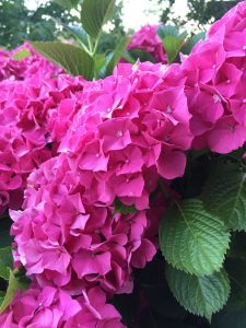 One of Tricia's superb hydrangeas on the terrace