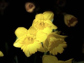 Dark daffodils